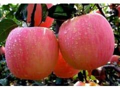 红富士苹果市场批发行情