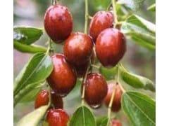 供应优质枣树苗