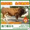 出售优质肉牛架子牛 改良肉牛 小尾寒羊