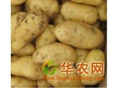 荷兰土豆招商