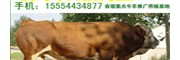 广西适合养殖什么品种的肉牛