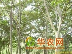 供应雪松,朴树,榉树,乌桕,栾树,香樟,石楠
