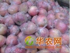 山东红富士苹果大量批发销售