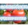 山东临沂西红柿大量供应