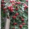 供应9公分石榴树、山楂树、杏树、枣树、梨树、核桃树、樱桃树