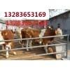 山西红光肉牛养殖场急售肉牛