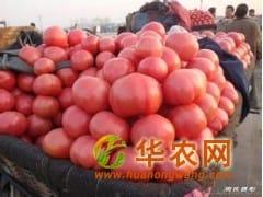 供应西红柿、供应山西西红柿、供应粉色西红柿
