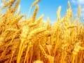 小麦行情暗流涌动种粮大户着手应对