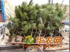 供1-4米白皮松 华山松 油松 雪松种植基地 樟子松小苗处理