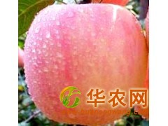 供应红富士苹果 山西苹果价格 纸袋苹果 膜袋苹果 纸夹膜苹果