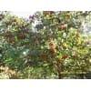 供应3-20公分山楂树 柿子树 苹果树 樱桃树 石榴树 杏树