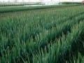 贵州遵义县三合村民种葱走上致富路