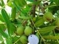 美国猴头核桃-手串原料-核雕籽料图片 (29)