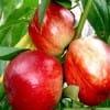露地油桃毛桃哪里有现在什么批发价格便宜最好吃多少钱一斤