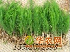 济南专供芦笋种苗批发