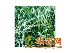 牧草之王 新采收黑麦草种子发芽率高