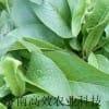 高蛋白俄罗斯饲料菜种根 种子 牧草种子