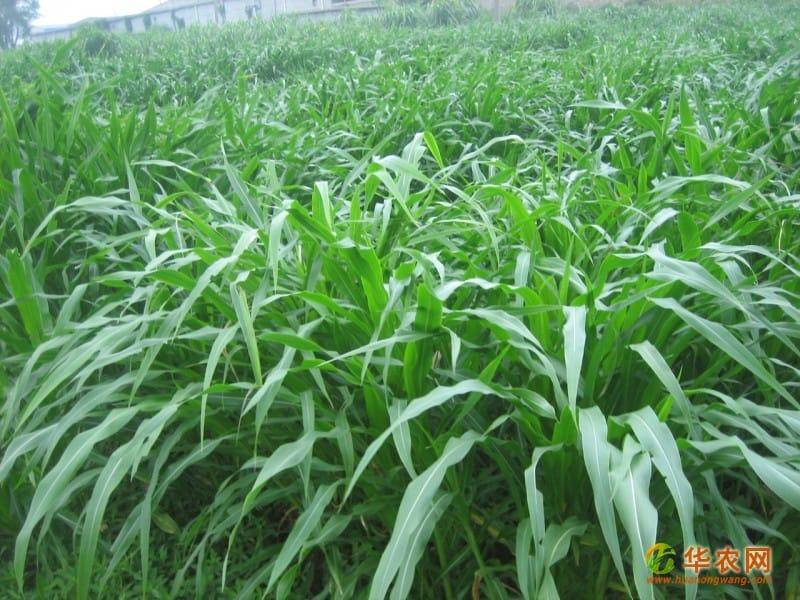 墨西哥玉米草12