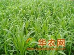 进口牧草种子 墨西哥玉米草种子 u12玉米草种子