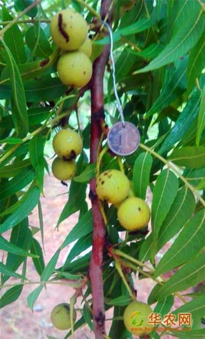 1-美国猴头核桃树上青果-120