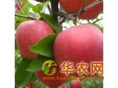 低价出售大量红富士苹果产地批发 山东苹果基地市场价格