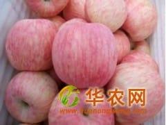 一级红富士苹果产地批发价格0.7元