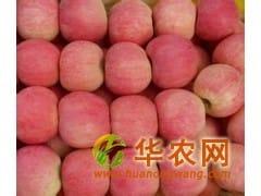 山东纸袋红富士苹果现在价格