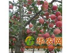 降价了山东纸袋红富士苹果低价批发