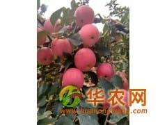 山东红富士苹果大量采摘价格