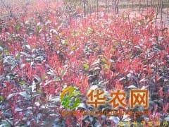 供应雪松,朴树,乌桕,香樟,栾树,桂花,红叶石楠