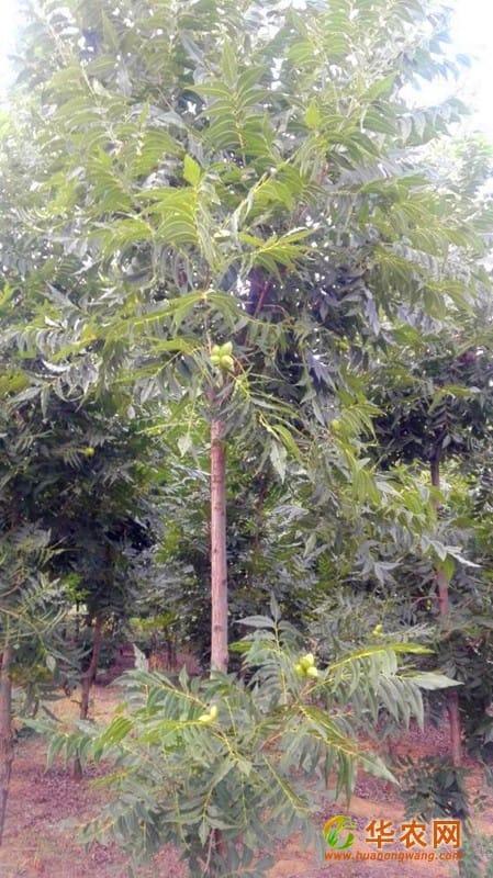 7-美国山核桃树-200