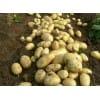 山东土豆大量批发