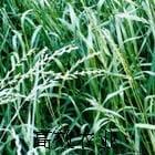 意大利黑麦草 新