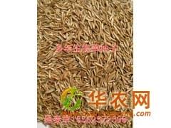 多年生黑麦草牧草种子一斤多少钱