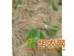 绿芦笋专业种植合作社 大量供应优质芦笋种苗