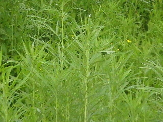 降压菜,减肥草,柳蒿种苗