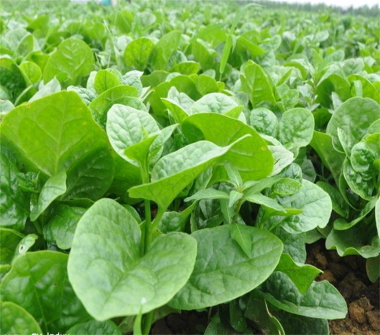 木耳菜种子一斤多少钱 木耳菜种子