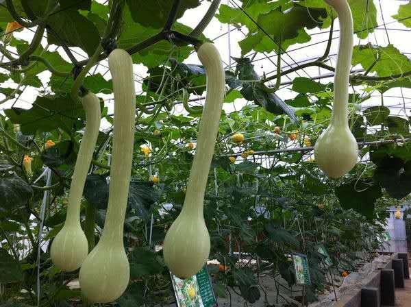 微型观赏南瓜种子  龙凤瓜种子