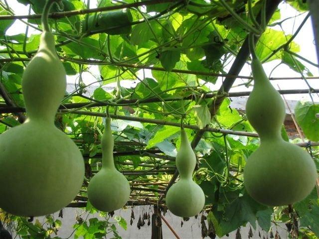 葫芦娃种子,大酒葫芦种子,亚腰葫芦种子,观赏葫芦