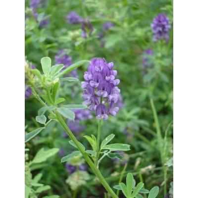 紫花苜蓿种子,路蒸种子,牧草种子