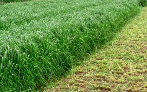 多年生黑麦草种子技术图片 牧草种子图片